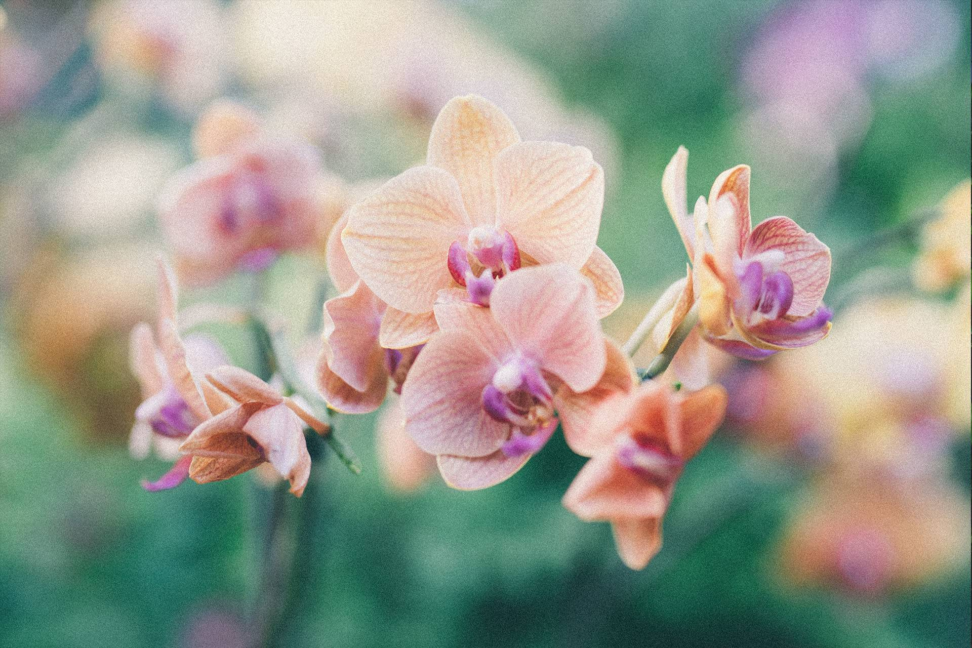 8_orchid